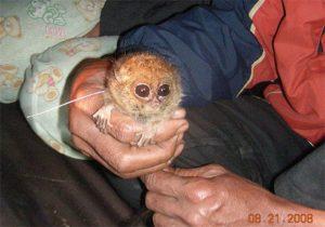 081118-tarsier-close-02