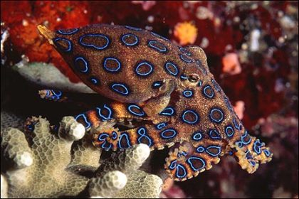 blue_ringed_octopus_465x310